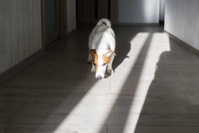家の中を歩く犬