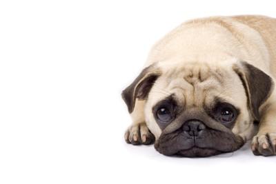 さみしそうな表情の犬