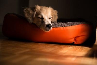 オレンジのベッドで寝る犬