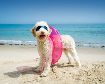 浮き輪とゴーグルをつけた犬