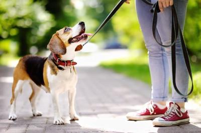 散歩中に飼い主と見つめ合うビーグル犬