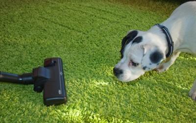 掃除機に近づく犬