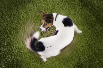 くるくる回る犬
