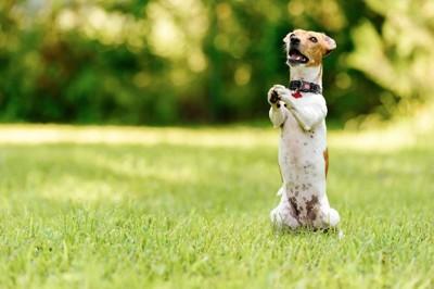 後あしで立ってちょうだいのポーズをする犬