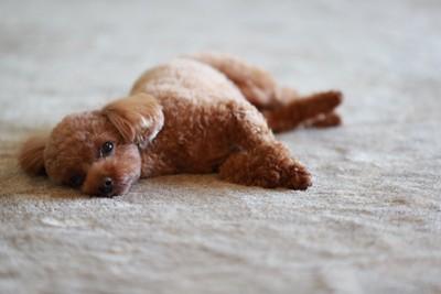 カーペットに横になって退屈そうな犬