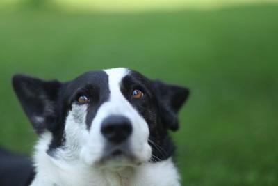不安そうな表情で耳を倒している犬
