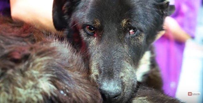 目の異常が見られる犬