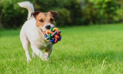 ボールを加えてこちらに向かってくる犬