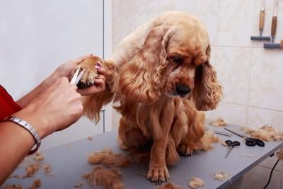 前足の被毛をカットされながらうつむいている犬