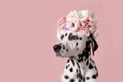 頭に花を乗せたダルメシアン