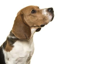 上を見る犬