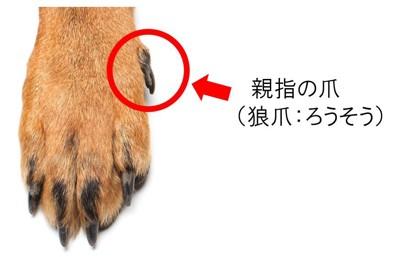 犬の親指の爪