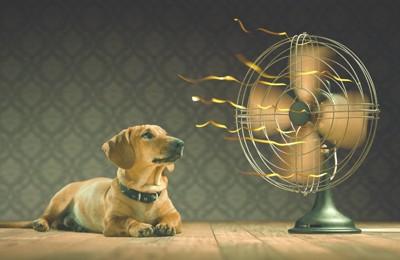 扇風機を見つめながら涼んでいる犬