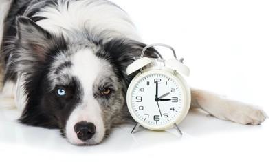 時計の横に伏せている犬