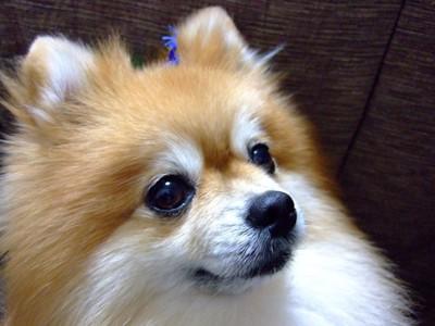 欲しそうな顔をする犬