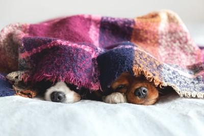 ブランケットからマズルを覗かせる二頭の犬