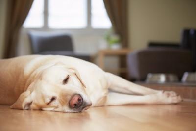 床で眠るラブラドール