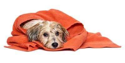 シャンプーされた後にタオルに包まっている犬