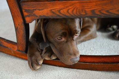 椅子の下に隠れているチョコラブ