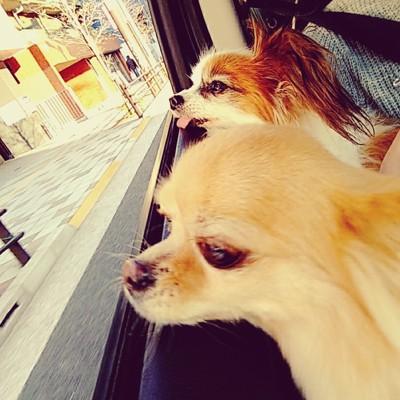 犬が二匹で車から顔を出す