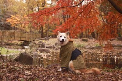 紅葉と和服姿の犬