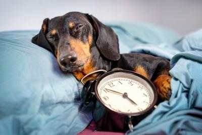 時計を持って寝る犬