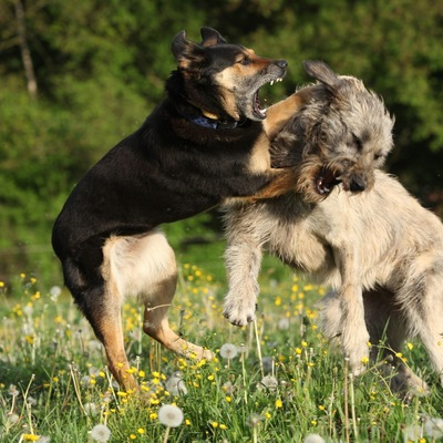 喧嘩をする犬
