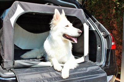 車のトランクで寛ぐ白い犬