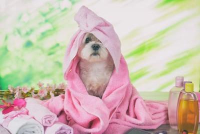 ピンクのタオルに包まれている犬