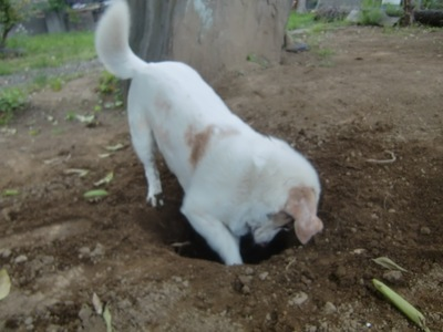 白い犬穴掘り