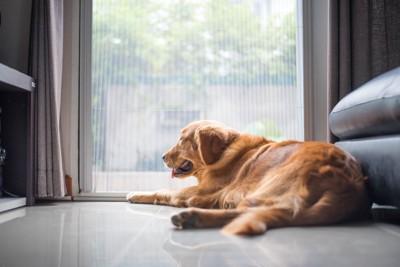 外を眺めている犬
