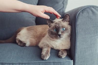 ソファーの上の猫と飼い主の手