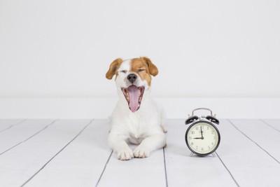 めざまし時計の横であくびをする犬