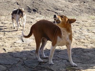 牙をむいて吠える野良犬