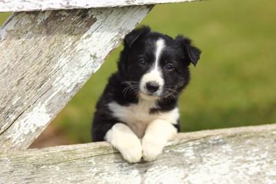 木に手をかけるボーダーコリーの子犬