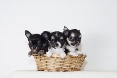 かごに入った3頭のチワワの子犬