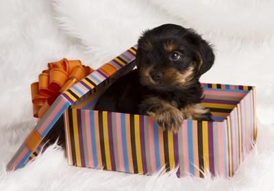 プレゼント箱で遊ぶ子犬