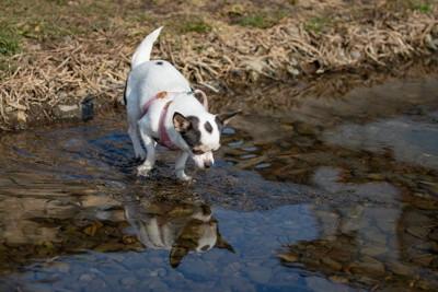 水面を見ている犬