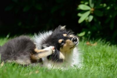 後ろ足で耳を掻くコリーの子犬