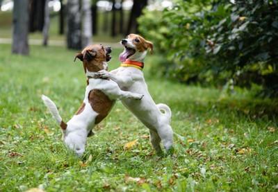 じゃれあって遊ぶ二匹の犬