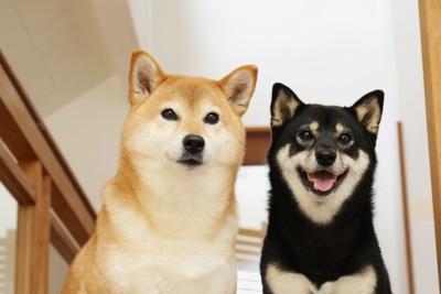 柴犬赤毛と黒