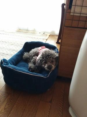 ネイビーのベッドでピンクの服を着て寝る犬