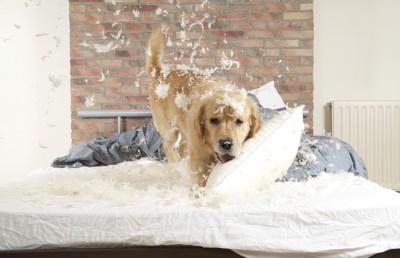 枕で遊び羽毛を散らかす犬