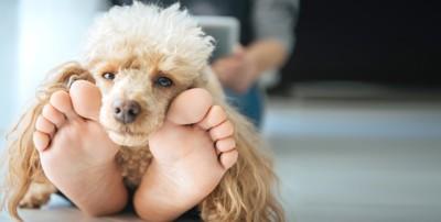 飼い主の足の上で寝る犬