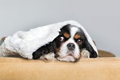 布を被って様子を見る犬