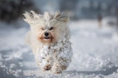 カラダに雪玉をつけて走る犬