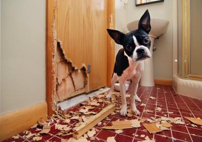 ドアを壊して首をかしげている犬