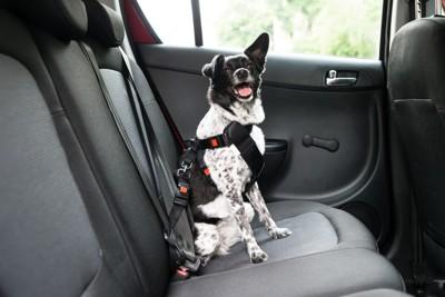 車内でシートベルトをする犬