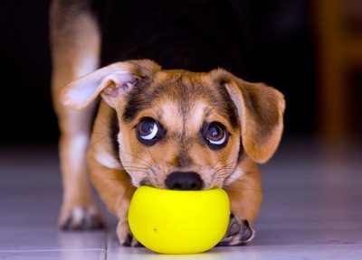 黄色いボールを潰している犬