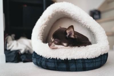 白とチェック柄のベッドの中で眠るチワワ